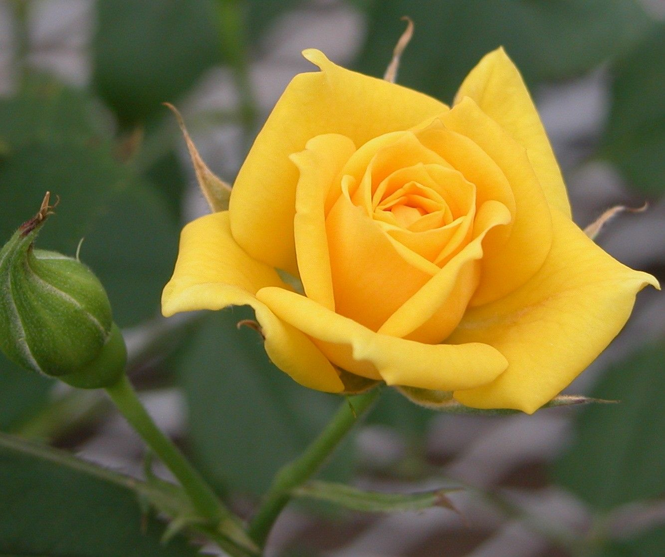 Dark Yellow Rose Rose Has A Fully Double Dark Yellow Flower As