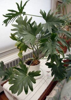 Split Leaf Philodendron Remains A Favorite Tropical Houseplant