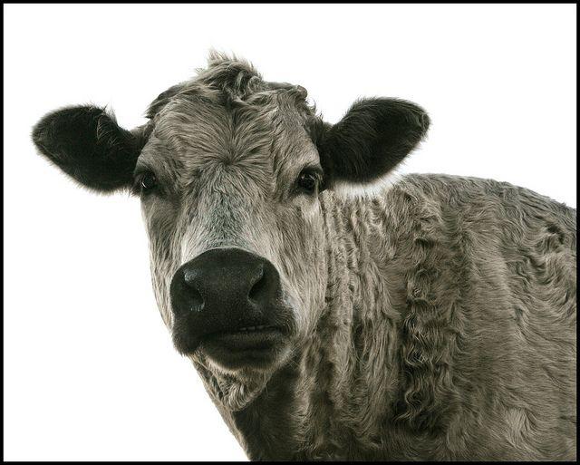 carolina cow.  street portrait. by Tansy Liverwort, via Flickr