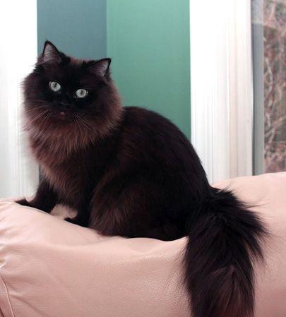 Black Norwegian Forest Cat Google Search Fluffy Black Cat