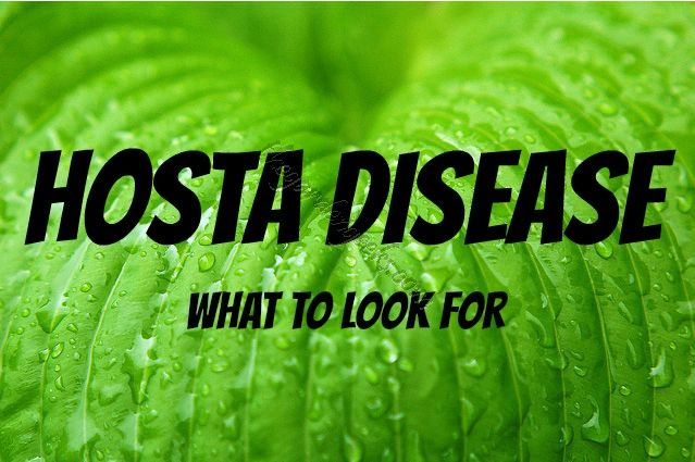 Anthracnose Is A Fungal Leaf Disease Of Hosta That Thrives In Warm