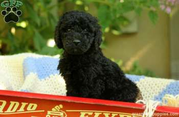 Beau Standard Poodle Puppy For Sale In Pennsylvania Poodle