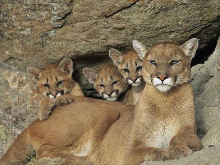 eastern puma cub
