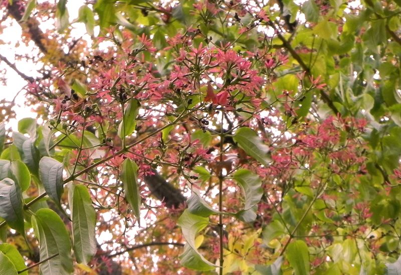 Heptacodium is a rangy tree with white flowers in september that heptacodium is a rangy tree with white flowers in september that leave colorful bracts through late mightylinksfo Gallery