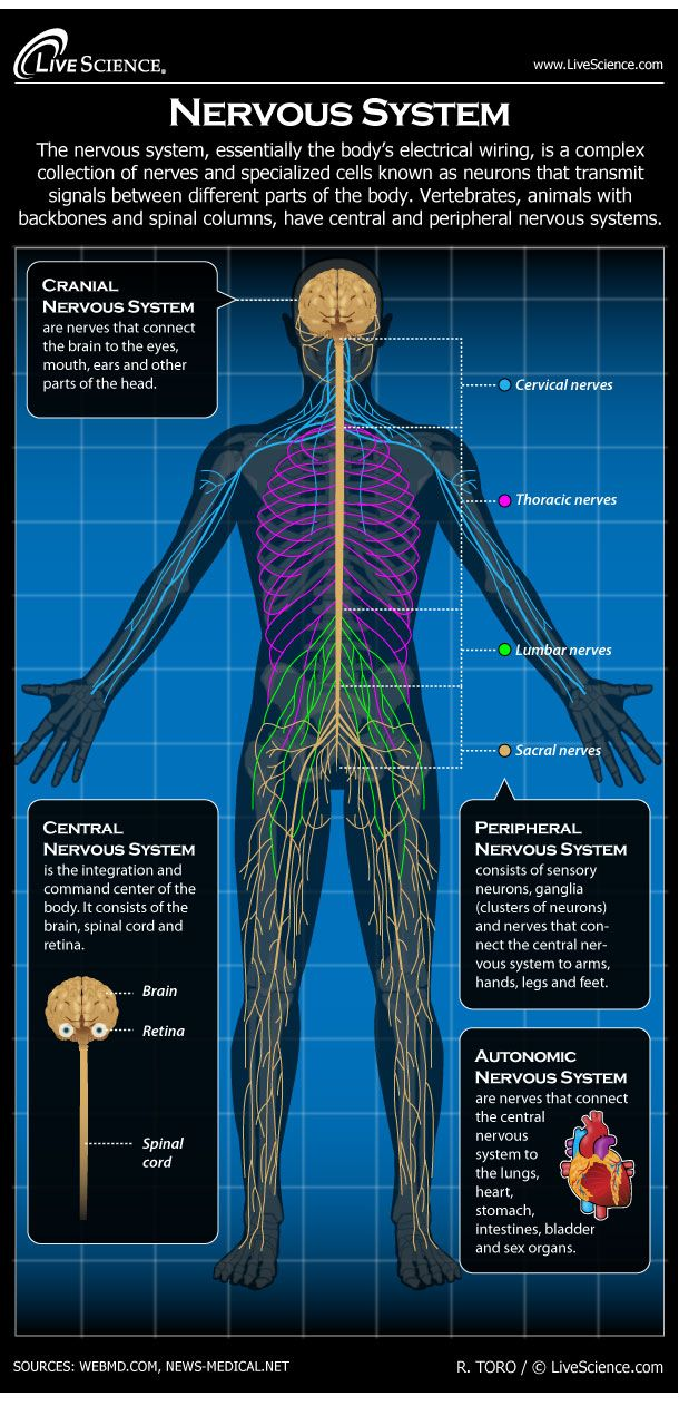 Diagram of the Human Nervous System (Infographic) | Anatomía ...