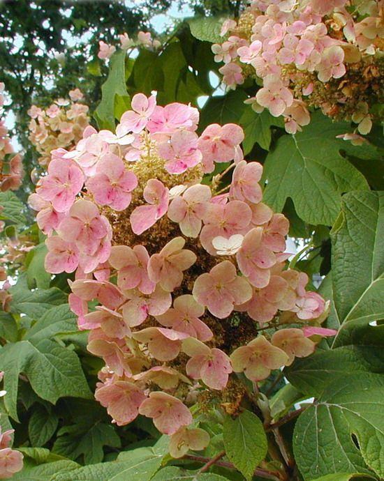 Hydrangea Identification Hydrangea Not Blooming Oakleaf Hydrangea Hydrangea Landscaping