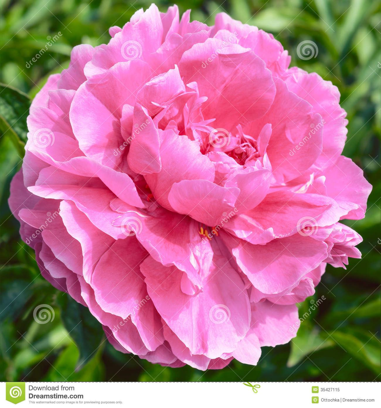 Imagem relacionada botnica e jardinagem pinterest peony it produces large deep rose pink double flowers which fade to a paler pink towards the edges mightylinksfo Gallery