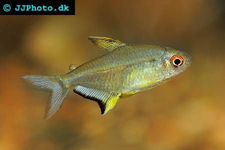 Lemon Tetra Lemon Tetras Are Native To The Rio Tapajos Basin In Brazil Where They Can Be Found In Creeks Tributaries And Areas Of Flo Beautiful Tropical Fish