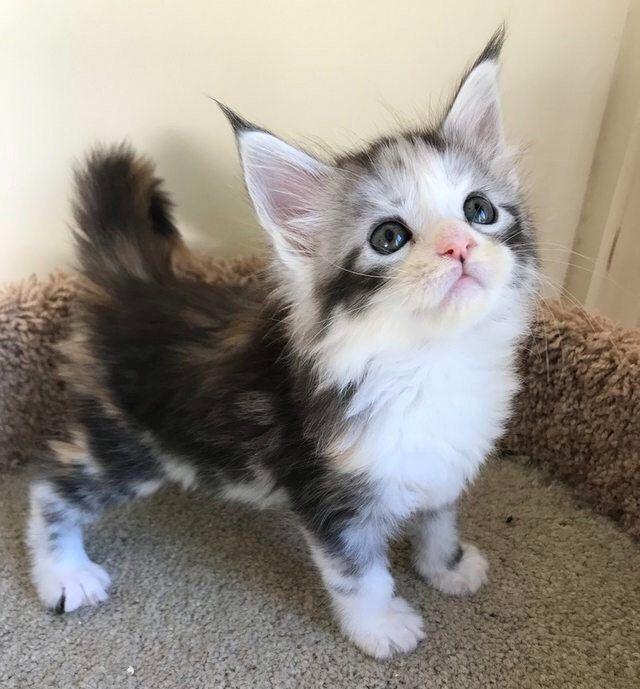 cute kitten with pointy ears kitty s pinterest kittens