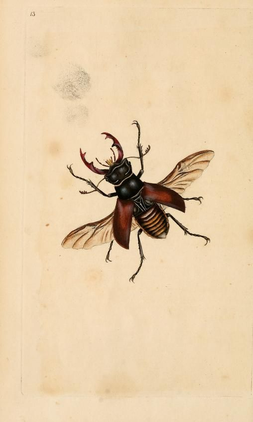 Stag Beetle, The natural history of British insects, Edward Donovan, 1792.