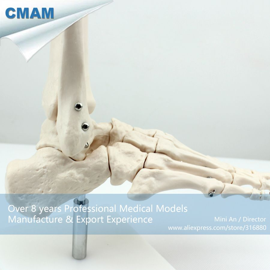 Medical Anatomical Life Size Foot Skeleton Model (JOINT01) | Joint ...
