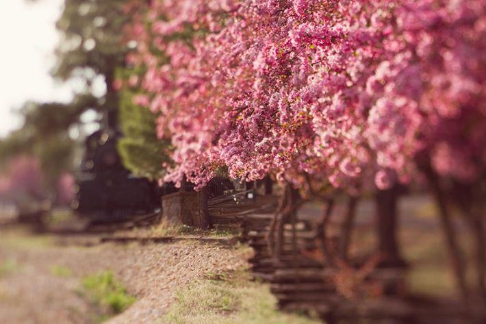 Cherry Trees In Flagstaff Arizona By Zila Longenecker Scenery Flagstaff Az Cherry Tree