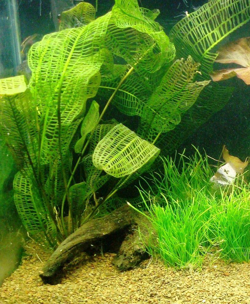 Madagascar Lace Sword Beautiful In Aquariums Planted Aquarium Fish Plants Water Plants