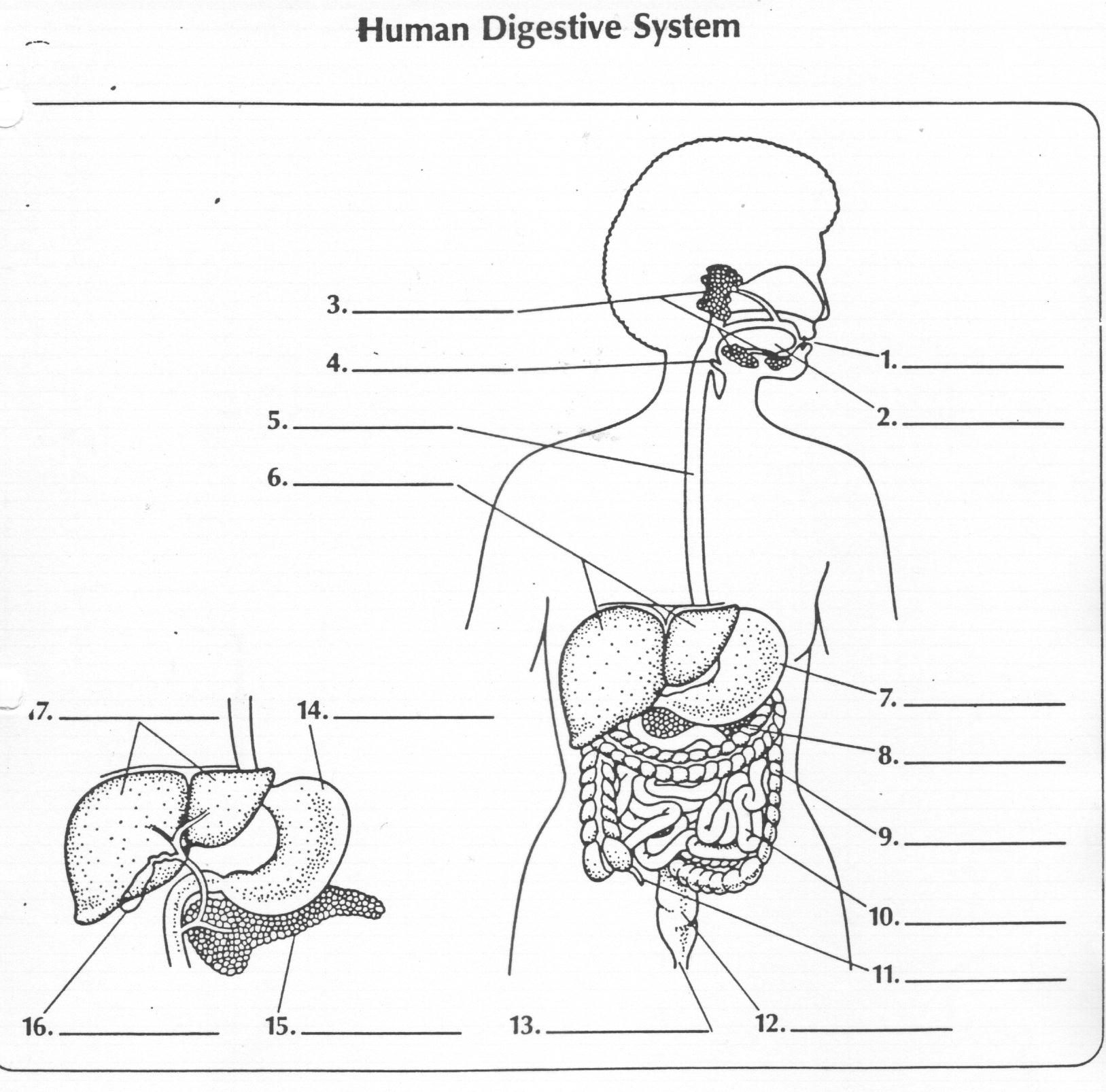 Image result for digestive system activity sheet – The Human Digestive System Worksheet