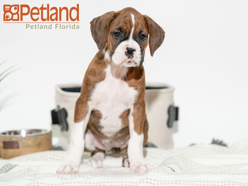 Puppies For Sale Boxer Puppies For Sale Boxer Puppies Puppies For Sale