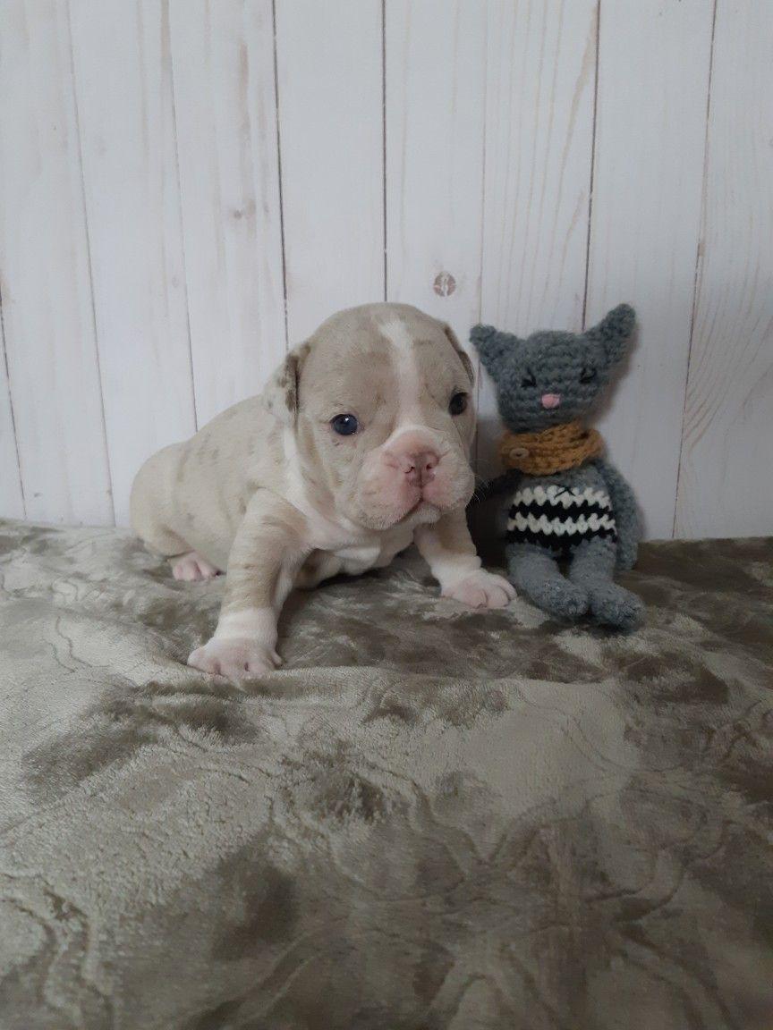 We Have Olde English Bulldog Puppies For Sale In Alberta Bulldog