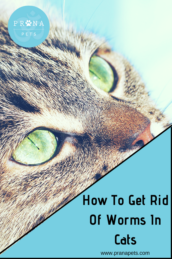 How To Get Rid Of Worms In Cats Wormsincats Tapewormsincats Roundwormsincats Cathealthblog Cat Kitten Parasitesincat Cat Worms Cat Remedies How To Get Rid