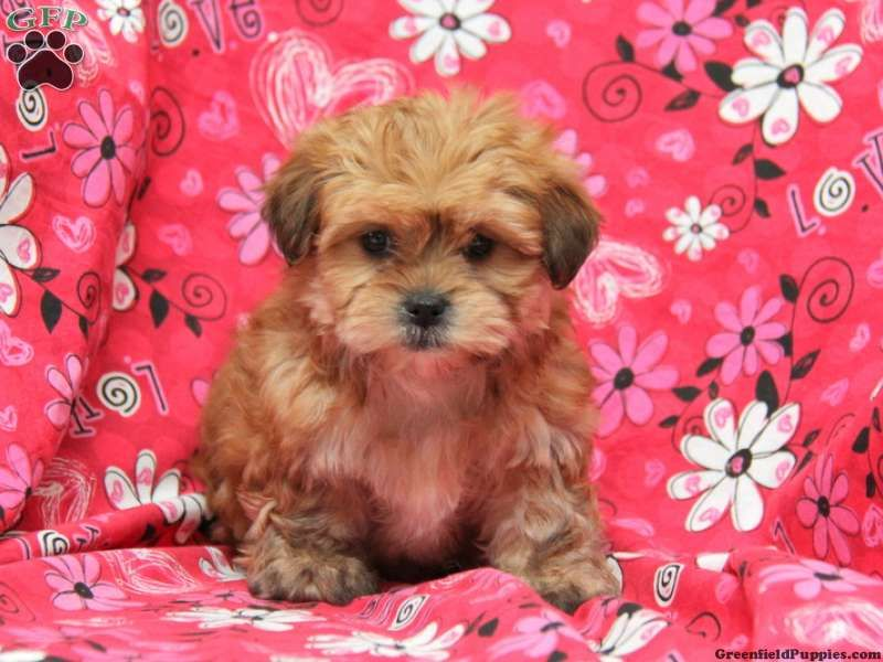 Ginger Shorkie Puppy For Sale In Ephrata Pa Shorkie Puppies