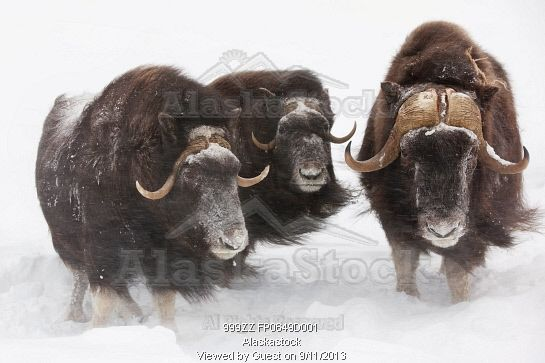 Three Musk Ox stand in deep snow during a winter storm, Alaska Wildlife Conservation Center, Southcentral Alaska. Photo by Doug Lindstrand