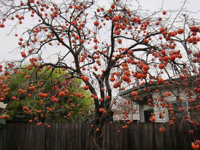 Inspiration Persimmon Tree Planting Flowers Beautiful Tree School Garden