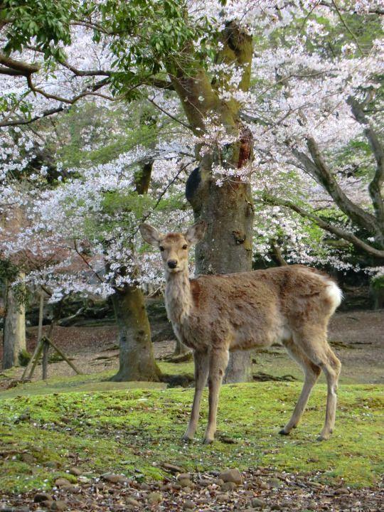 253:「桜は満開ですが、肌寒い季節なので、鹿は、まだ冬毛です。」@奈良公園