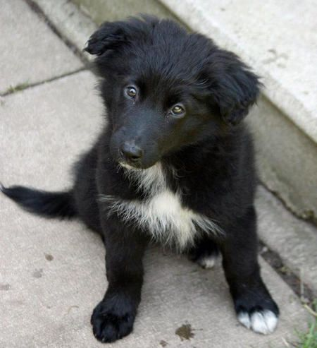 Puppy Breed Border Collie German Shepherd Dog This Is Karma