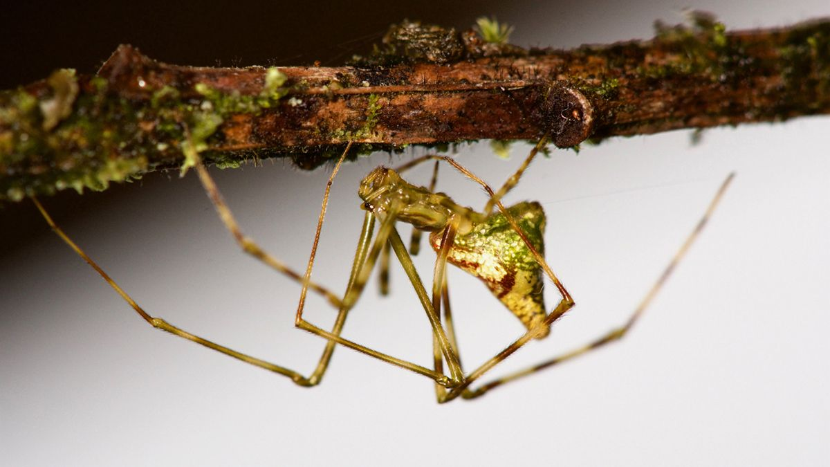 These Weird Hawaiian Spiders Are Helping Scientists Understand A