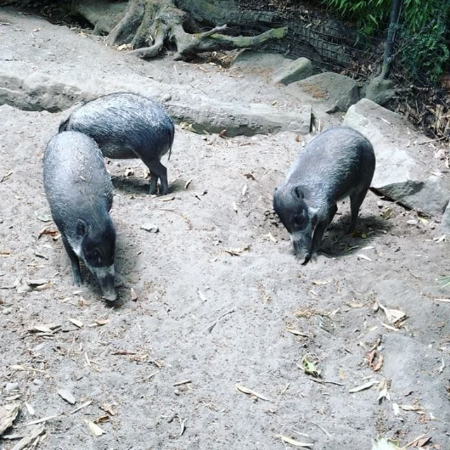 The Three Little Incredibly Adorable Visayan Warty Pigs Watch Our Story For More Visayanwartypig Pigsofins Woodland Park Zoo Woodland Park Bestie Goals