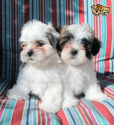 Gonegonegonegonegonegone Lhasa Apso Puppies Lhasa Apso Puppies