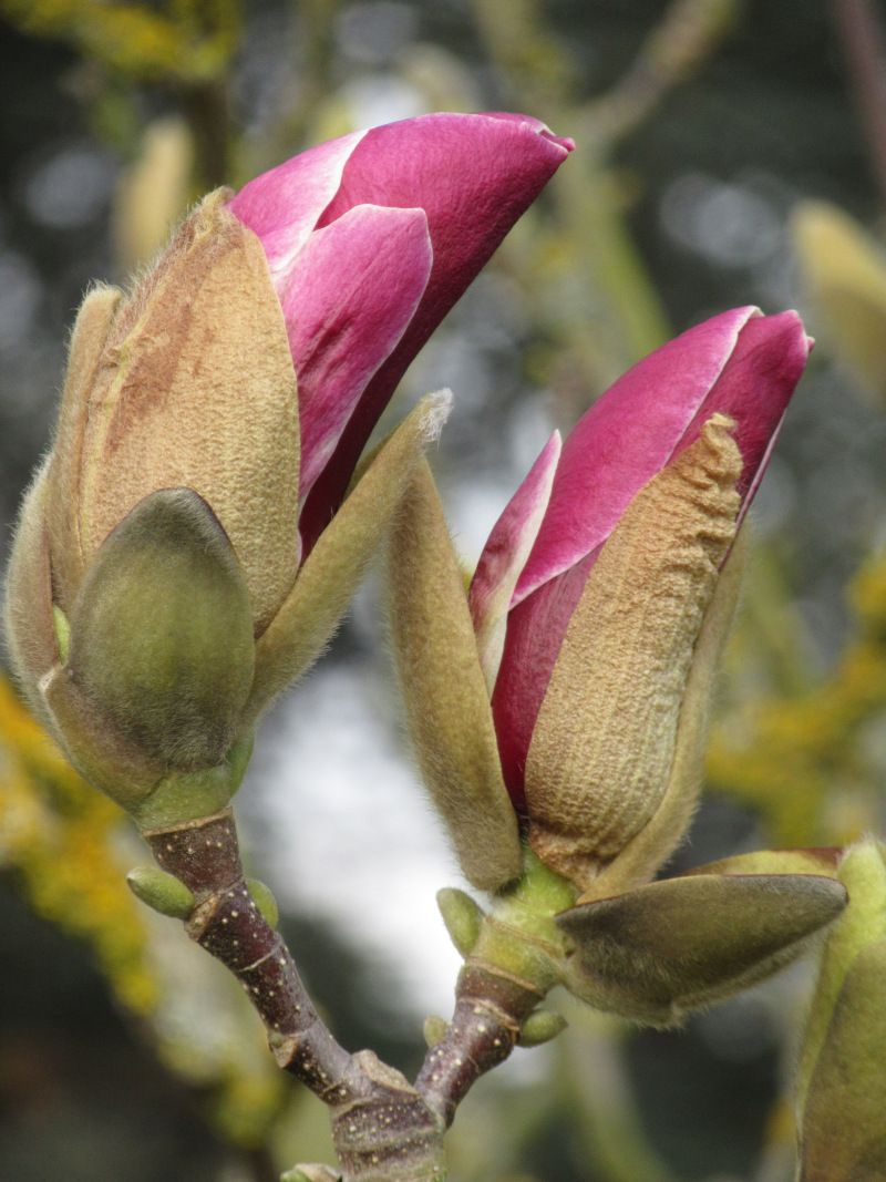 Img 9332 Magnolia Pickard S Ruby C Martin Ogden Kewgardens Magnolia Flowers Photography Flowers