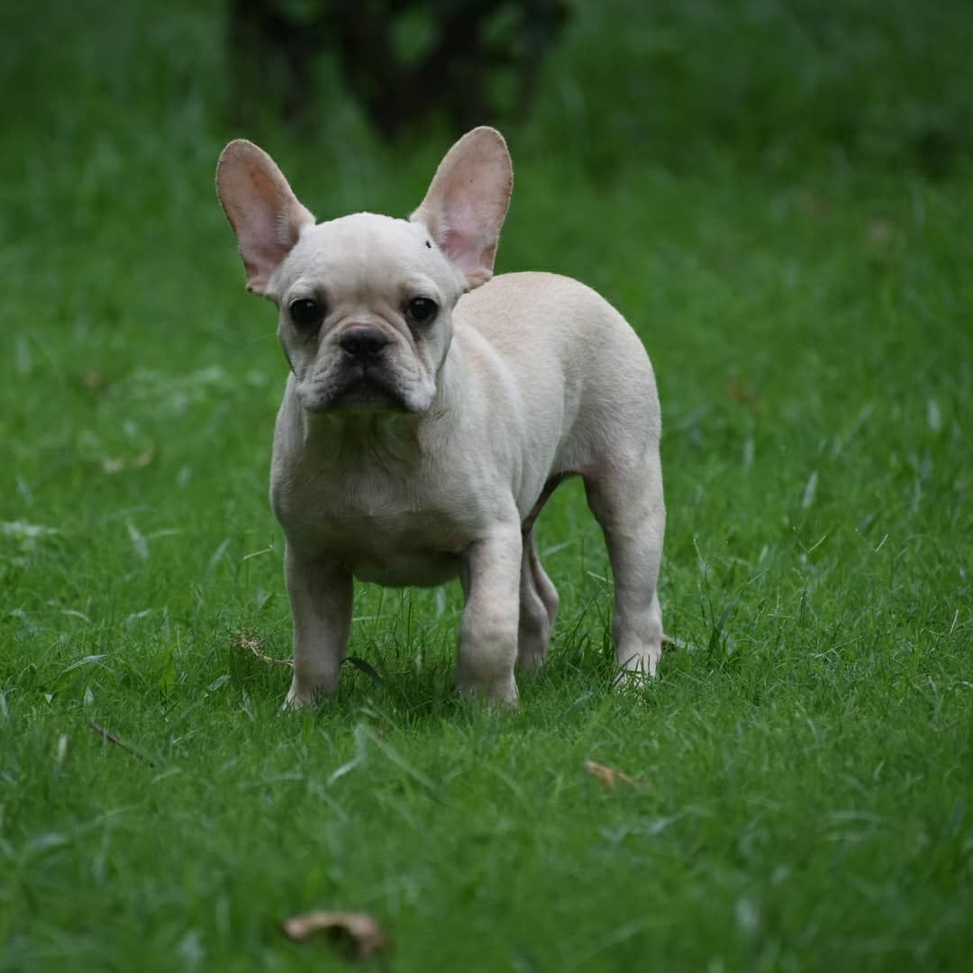 French Bulldog Puppies In 2020 French Bulldog Puppies Bulldog Puppies Bulldog Puppies For Sale