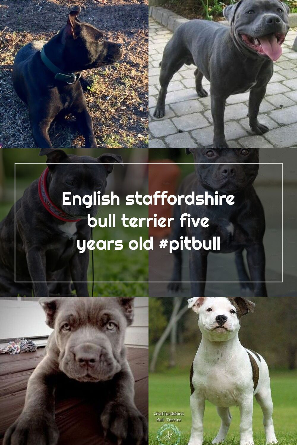 English Staffordshire Bull Terrier Five Years Old Pitbull In 2020 English Staffordshire Bull Terrier Staffordshire Bull Terrier Bull Terrier