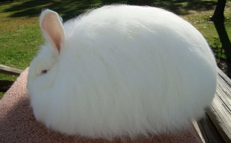 Giant Angora Rabbits Facts, for Sale and Prices #giantangoras, #angorarabbits, #rabbits, #bunnies