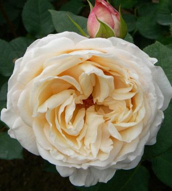 angie romantica garden spray rose cabbage shape creamy white