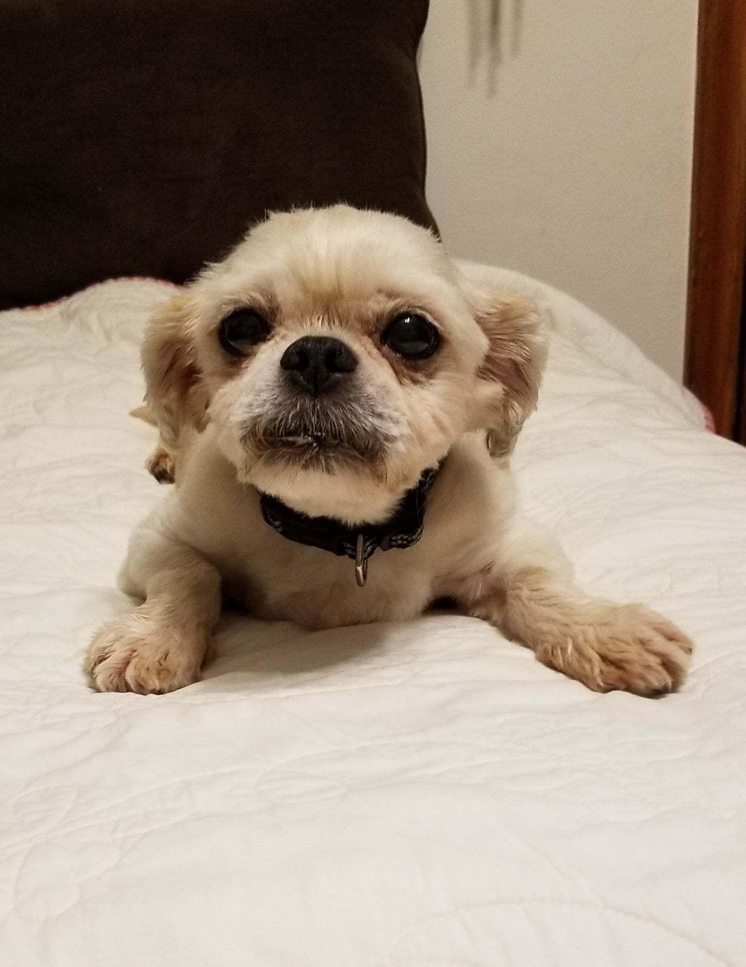 Adopt Rocky On Pets Shih Tzu Shih Tzu Dog