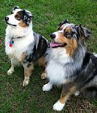 Australian Shepherd Dogs For Sale From Registered Breeders At Dogz
