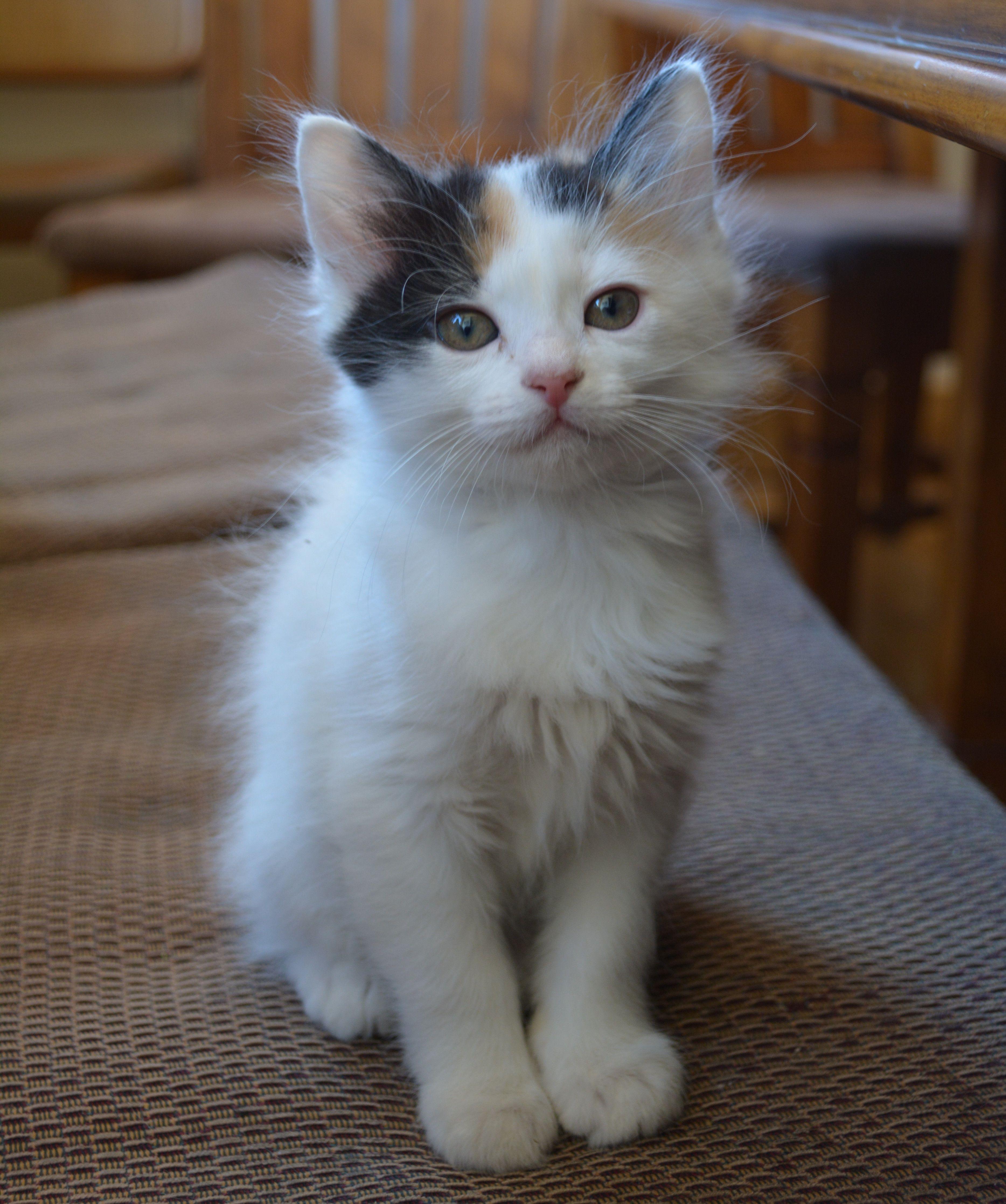Japanese Bobtail Kitten Japanese Bobtail Bobtail Cat Pretty Cats