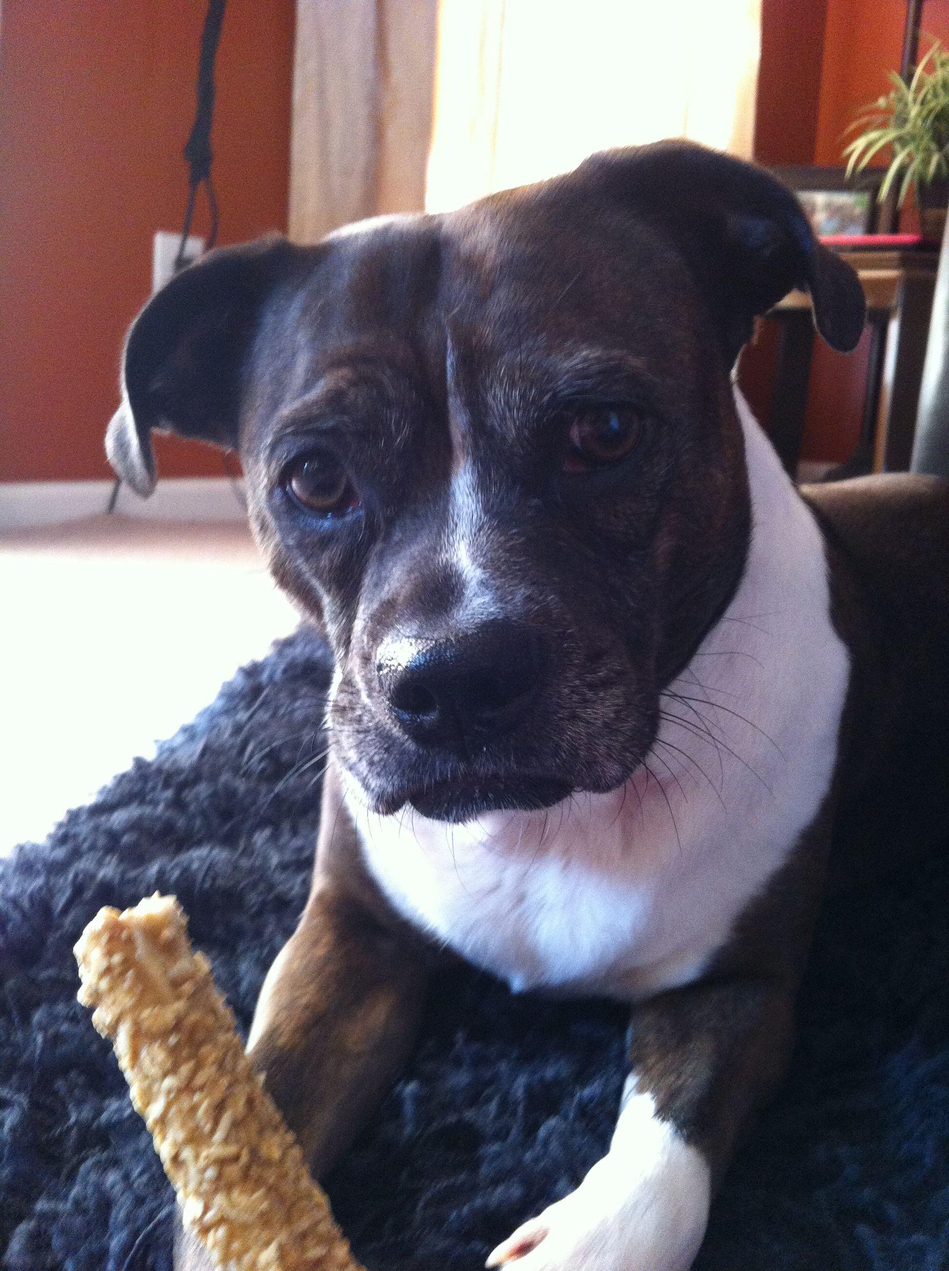 Gigi loves busy bones Animals, Dogs, Bull