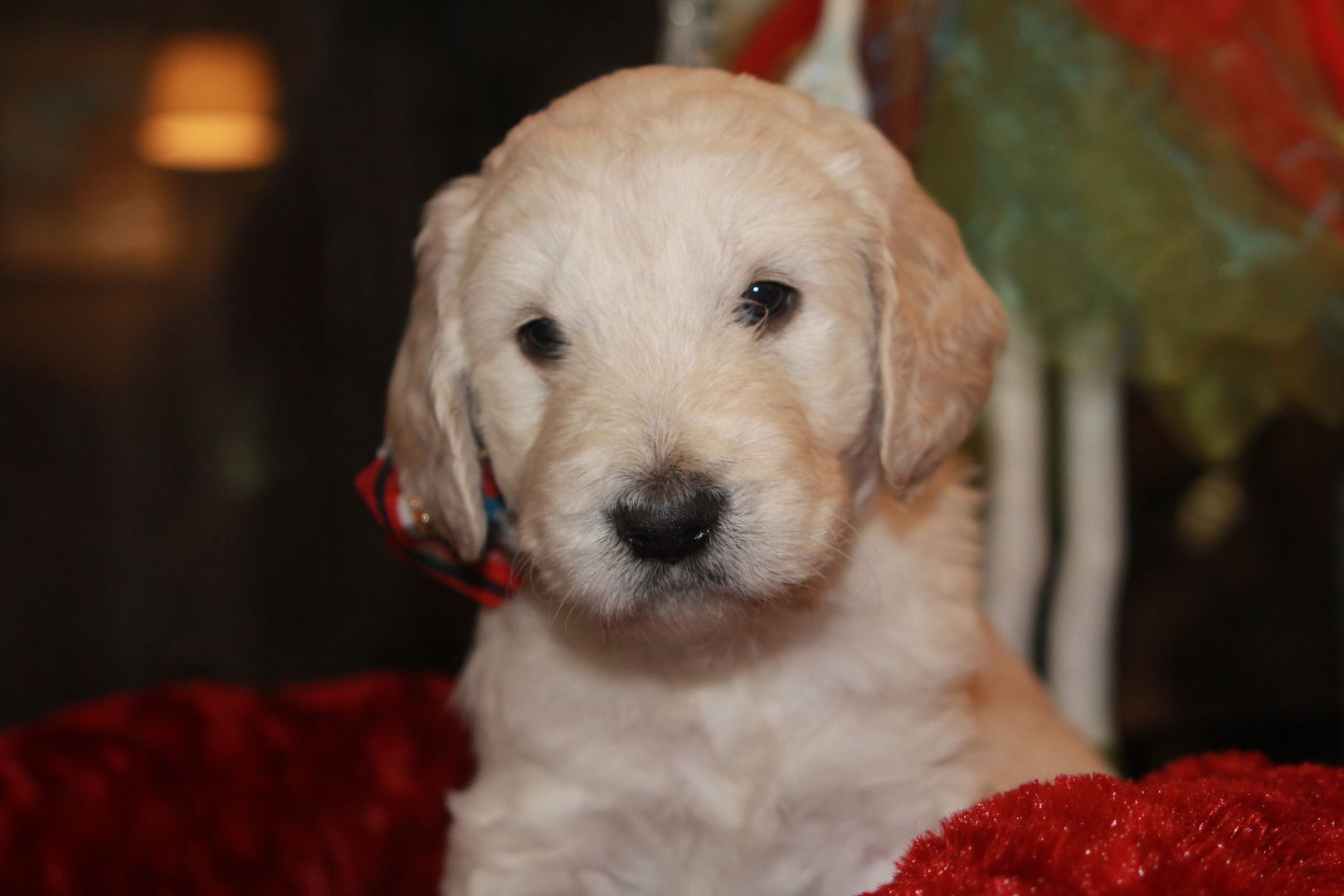 Sharper Poodles And Doodles Goldendoodle Breeder Puppies For