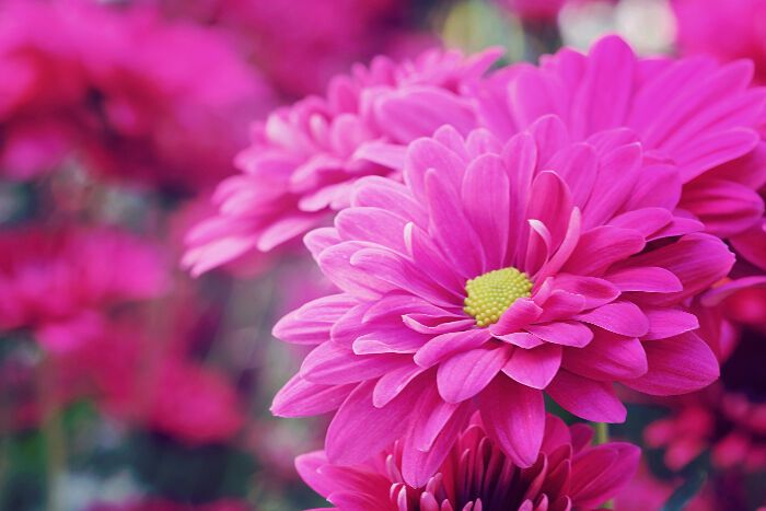 Chrysanthemum Flower Meaning Flower Meaning Chrysanthemum Flower Flower Meanings Mums Flowers