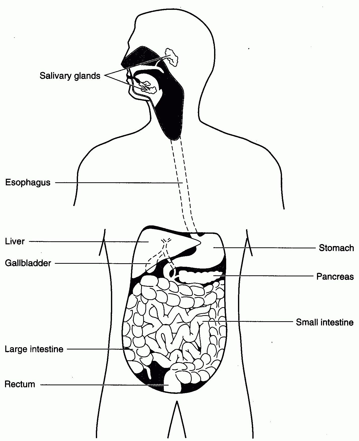 Simple Digestive System Diagram With Images