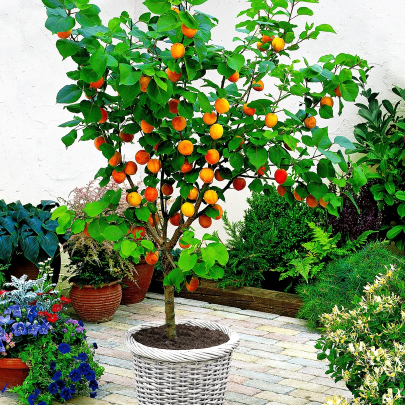 Buy Potted Apricot Tree Bakker Com Apricot Tree Small Fruit Trees Fruit Trees