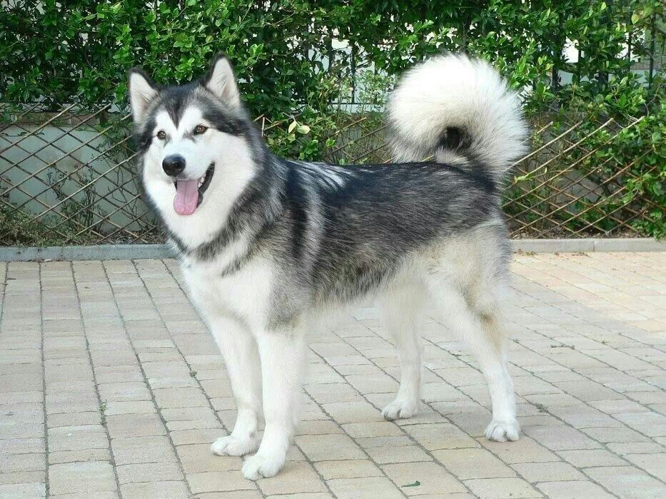 Husky My Favorite Breed Had One For 12 Years Most Beautiful