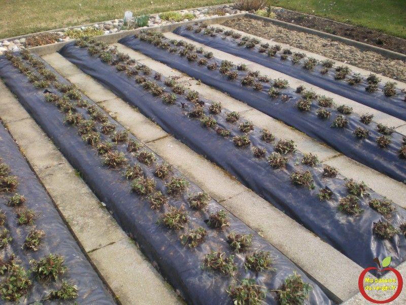 nettoyage fraisier sur bache au printemps Plantation
