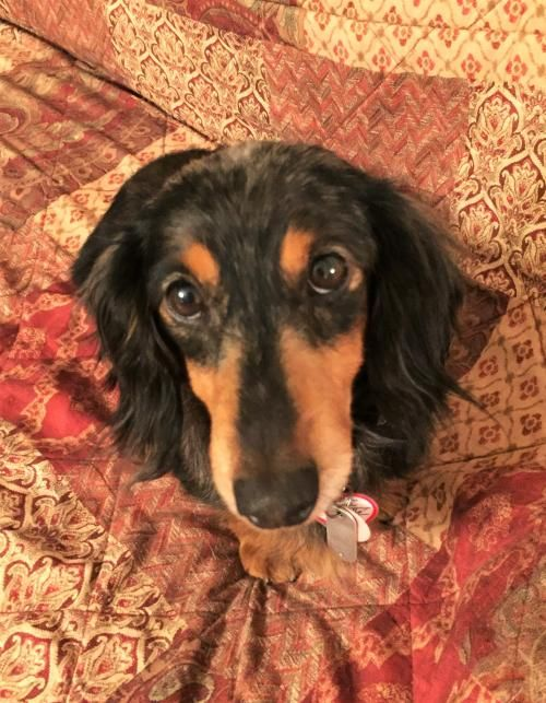 Pita In Ky Pet Dogs Dachshund Rescue Pets