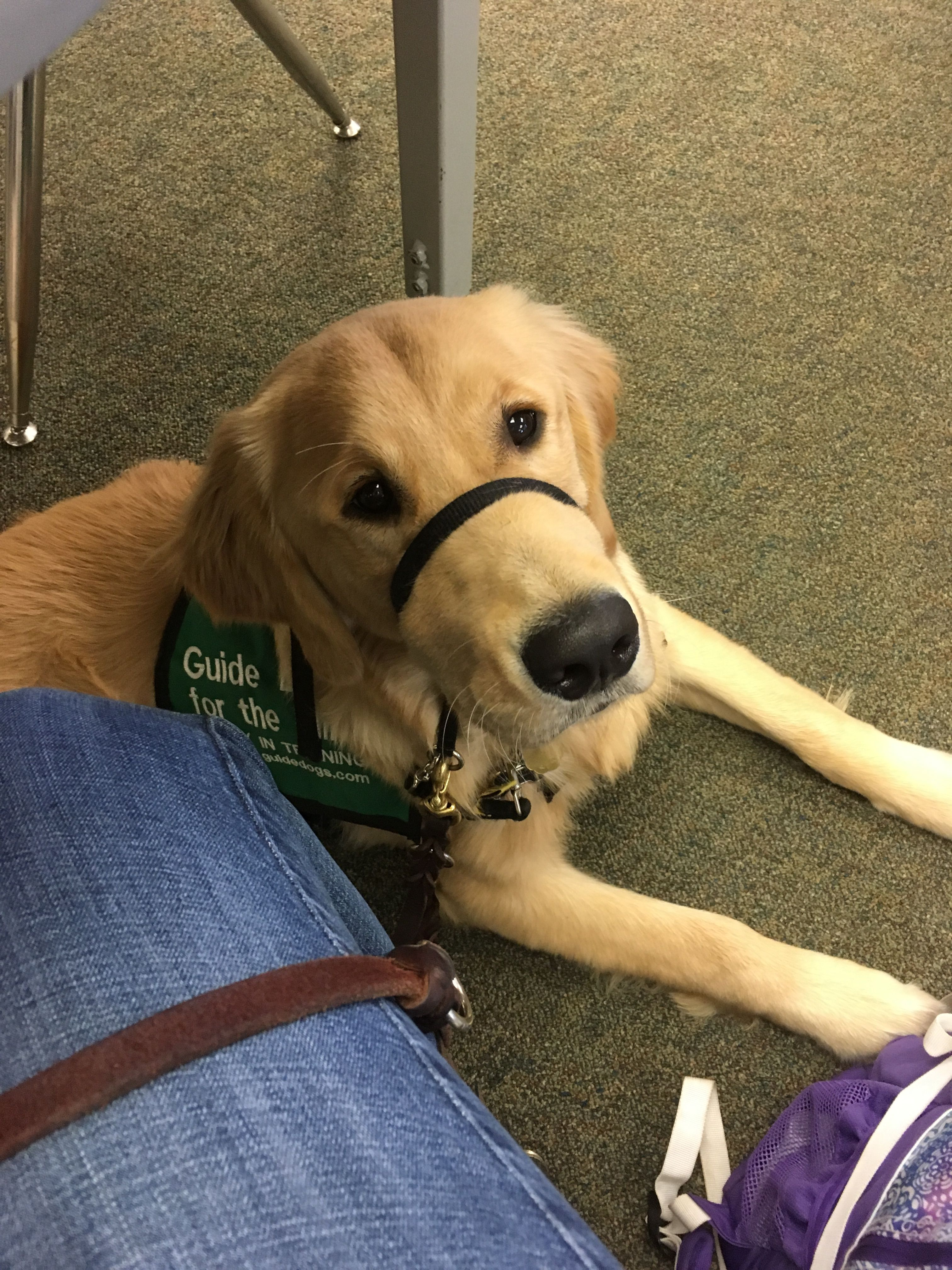 Adam. Guide Dogs for the Blind Puppy in Training Service