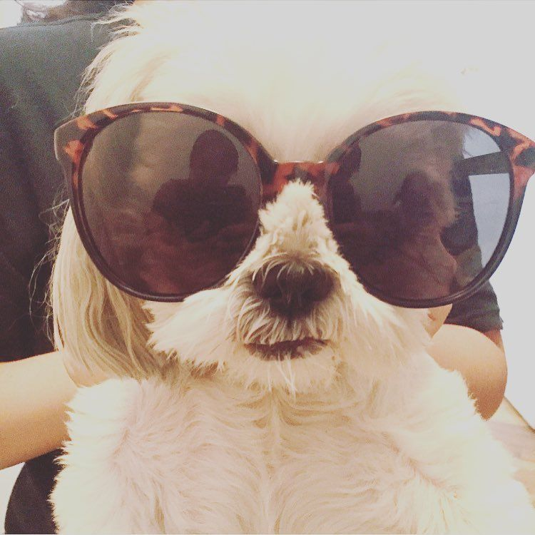 """15 Likes, 1 Comments - Coco (@cuckoo4cocopup) on Instagram: """"Getting real hot in NYC. This is my summer lewk #dogsunglasses #shihtzusofinstagram #cutedogs…"""""""