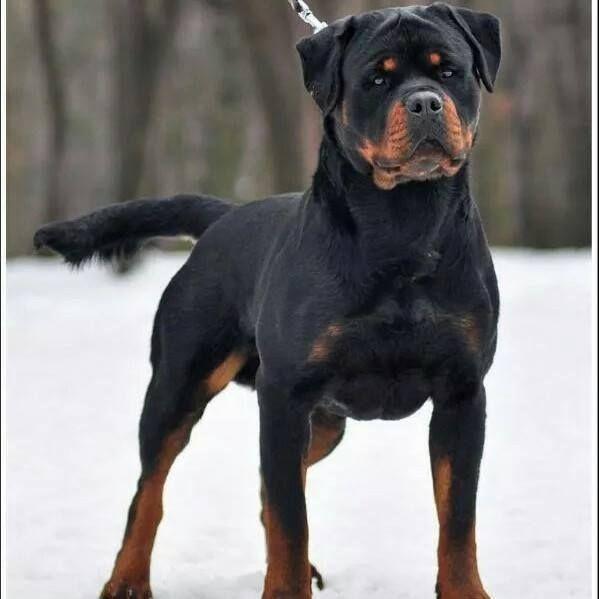 German Rottweilers.jpg (599×599)