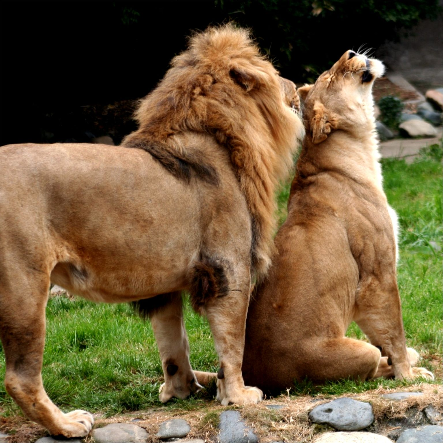 Male/Female African Lions