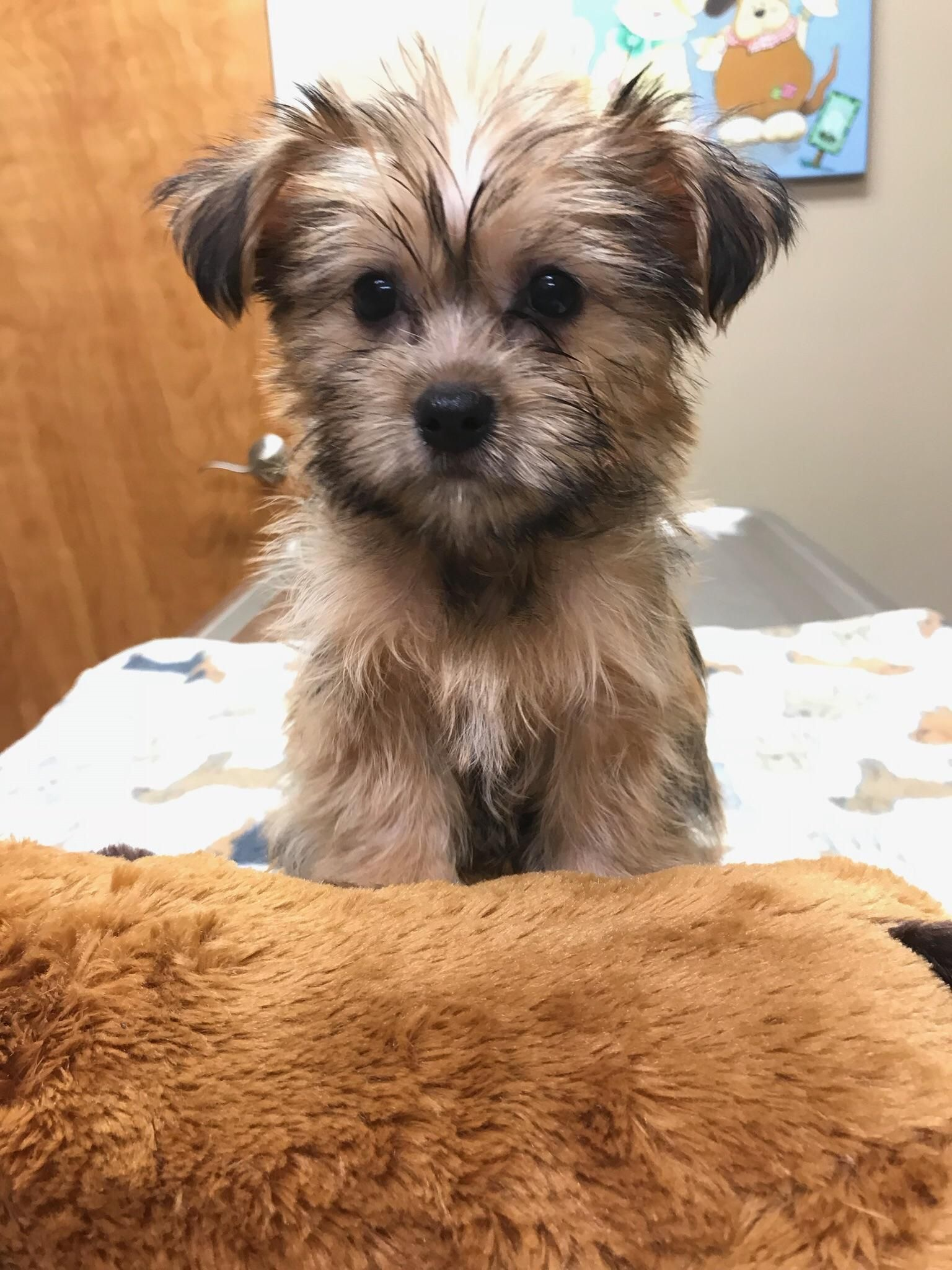 My Family And I Just Purchased This Shorkie Yorkie Shitzu Mix On
